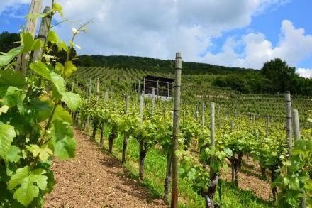 vineyard-in-switzerland-min